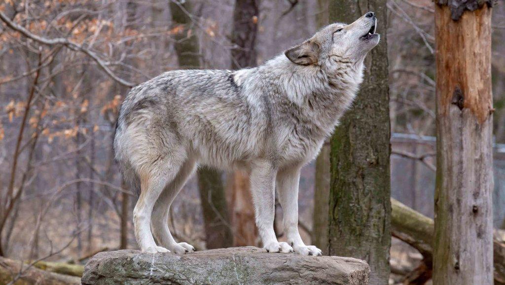 Przywództwo wgrupie wilków